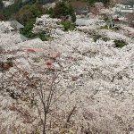 桜の吉野のロープウェイ復旧、再開!2019平成最後の現在の開花予測、今日の状況は??